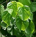 Leaves I IMG 9210.jpg
