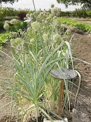 Leeks (Allium ampeloprasum var. porrum)