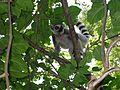 Lemur Catta Beza Mahafaly.JPG