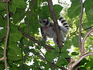 Beza Mahafaly Reserve - Ring-tailed lemur (Lemur catta).