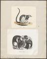 Lemur macaco - 1700-1880 - Print - Iconographia Zoologica - Special Collections University of Amsterdam - UBA01 IZ19700016.tif