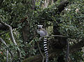 Lemurs catta - parc zoologique.jpg