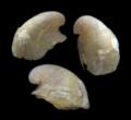 Lepetodrilus fucensis.png