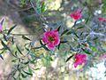 Leptospermum 'Bywong Merinda'.jpg