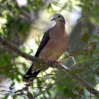 Grey-fronted dove species of bird