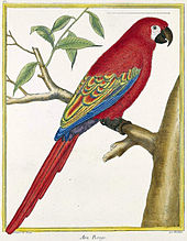 An illustration of a macaw with red tail feathers, red back and breast feathers, and blue and yellow wing tips. It sits on a tree branch facing right.