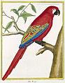 Lesser Antillean Macaw.jpg