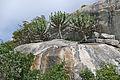 Lesser Candelabra-trees (Euphorbia cooperi) (15861276474).jpg