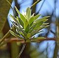 Leucadendron argenteum in Dunedin Botanic Garden 06.jpg