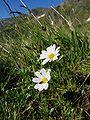 Leucanthemopsis alpina.jpg