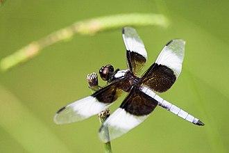 Libellulidae - Image: Libellula luctuosa male