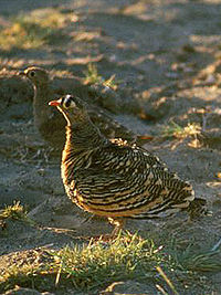 Lichtenstein's sandgrouse cropped.jpg