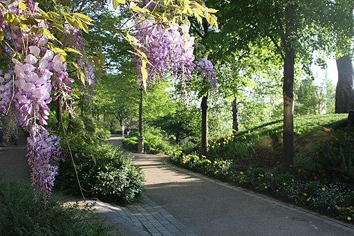 Lilacs in Belleview Park, Paris June 2010