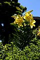 Lilium Golden Splendour2.jpg
