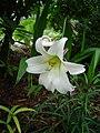 Lilium formosanum var pricei.jpg