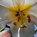 Lilium regale - 20100702.jpg