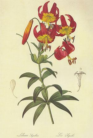 Pierre-Joseph Redouté - botanical illustration of Lilium superbum