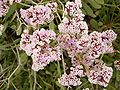 Limonium pectinatum (Los Cancajos) 02 ies.jpg