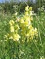 Linaria vulgaris bgiu.jpg