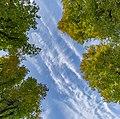 Linden trees and the sky in Planina, Postojna, Slovenia.jpg