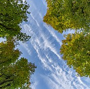 Linden trees and the sky in Planina, Postojna, Slovenia.jpg