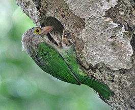 Lineated Barbet (Megalaima lineata) at Nest in Narendrapur near Kolkata I IMG 7716.jpg