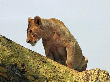 English: Female Lion (Panthera leo), resting i...
