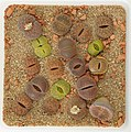 Lithops Collection - Top view - Feb. 2011 - (5).jpg