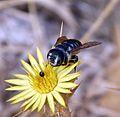 Lithurgus chrysurus. Megachilidae. Female - Flickr - gailhampshire (1).jpg