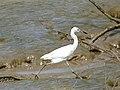 Little Blue Heron (Egretta caerulea) juvenile (39180473130).jpg