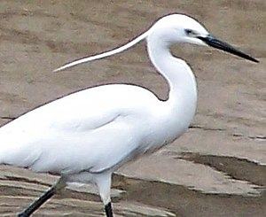 Little Egret in Summer.jpg