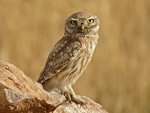 a little owl probably liliths owl - Picture Of Owl