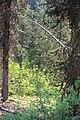 Little Yoho Valley IMG 4885.JPG