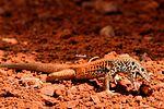 Lizard - Monument Valley (14066021700).jpg