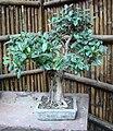 Lodhi Garden - Bonsai plant at Bonsai Park 1.jpg