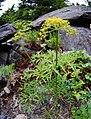 Lomatium brandegeei 5.jpg