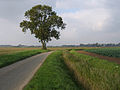 Lone tree on Wargate Field Lane, Gosberton, Lincs - geograph.org.uk - 260143.jpg