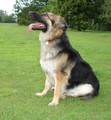 Long-haired German Shepherd Bitch -DSC01654-.png