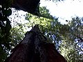 Looking up at more giant redwoods (2398910017).jpg