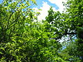 Looking up into trees Epping.jpg