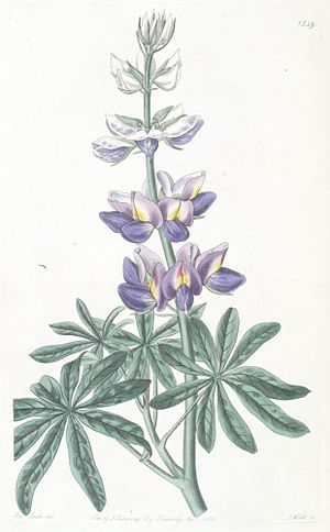 Lupinus mutabilis - Illustration