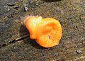 Lycogala epidendrum Kiev5.jpg