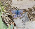 Lysandra bellargus (hembra) - f. ceronus - Flickr - S. Rae.jpg