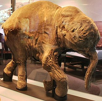 Mammoth - Lyuba, a mummified woolly mammoth calf, at the Field Museum of Natural History in Chicago