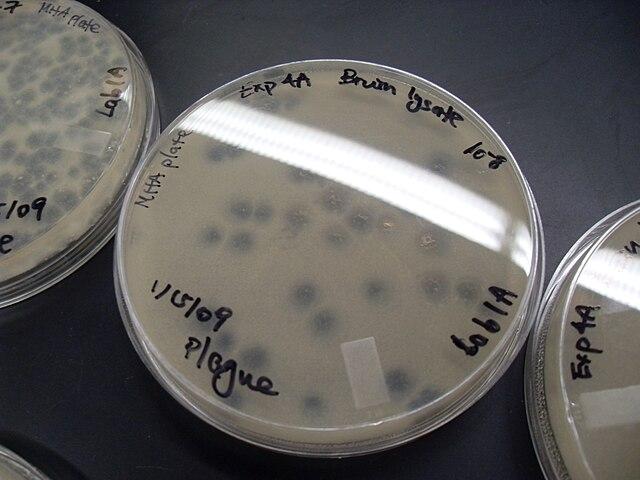 Virusplaque på en odlingsplatta med bakterier.