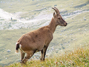 Alpine Ibex, picture taken in the Julian Alps ...