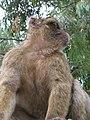 Macaca sylvanus Gibraltar3.jpg