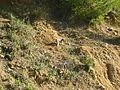 Macaque berbère à Ziama Mansouriah 14 (Algérie).jpg