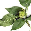 Maclura female inflorescence.jpg
