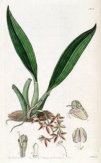 <i>Macradenia lutescens</i> species of plant